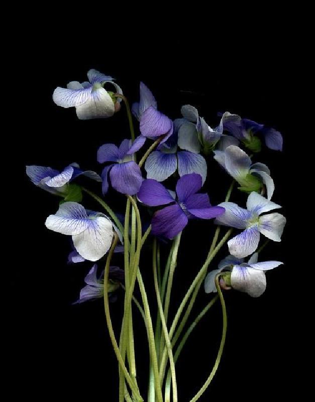 Violet photos
